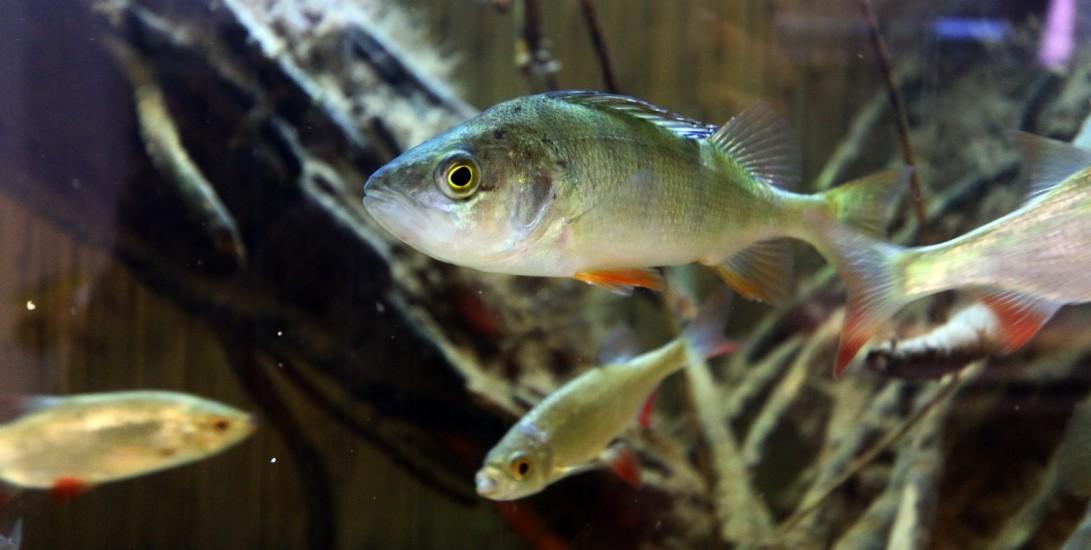 sügér a  vörösszárnyú keszegek közt, H2O Akváriumházban